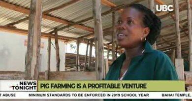Pig farming is a profitable venture in Uganda